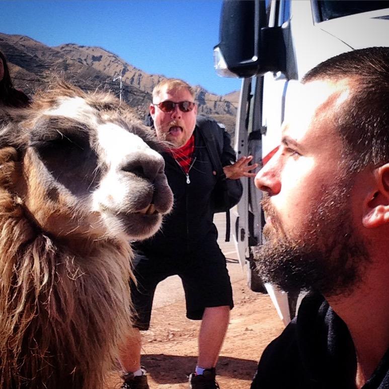 Llama in Peru - but is he high?